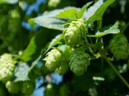 Il Luppolo nella birra: un fiore molto particolare!