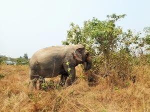 Elefante Thailandese